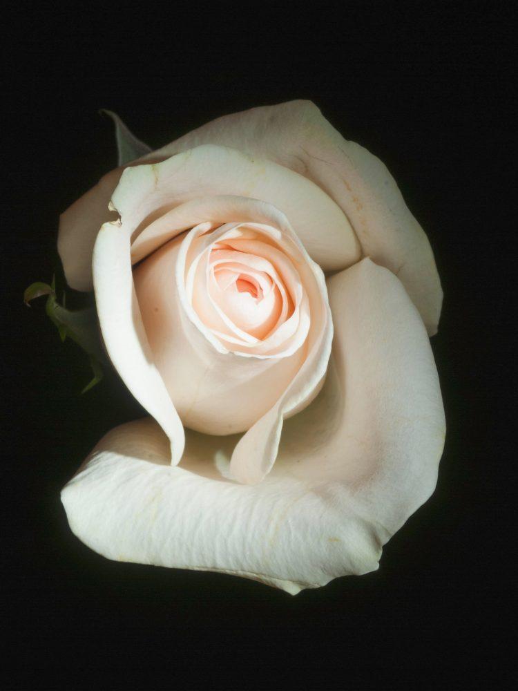 rose-weiß